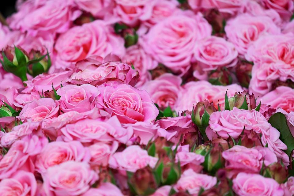 Piante estive: le rose