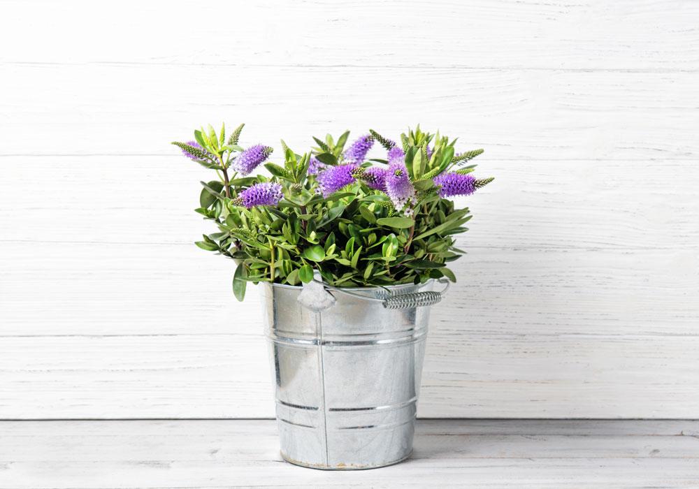 hebe - pianta invernale